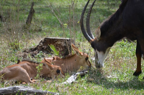 Wildlife Wednesday: 5 Sable Antelope Calves Now on Kilimanjaro Safaris at Disney's Animal Kingdom!