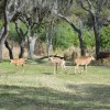 5 Sable Antelope Calves Now on Kilimanjaro Safaris at Disney's Animal Kingdom