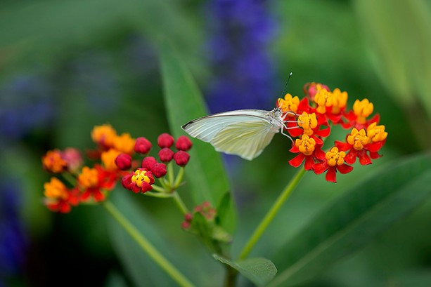 Build Your Own Butterfly Garden with Tips from Epcot International Flower & GardenFestival