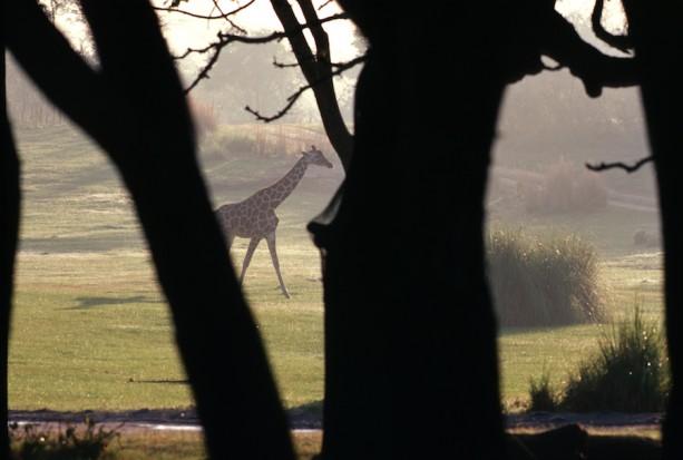 Good Morning From Kilimanjaro Safaris at Disney's Animal Kingdom