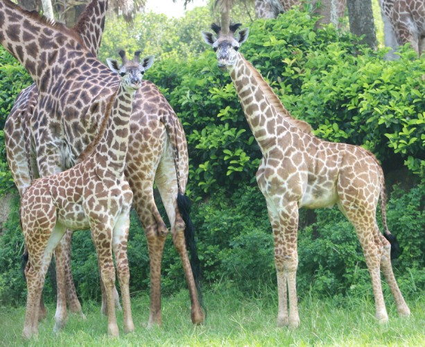 This Week in Disney Parks Photos: Three Baby Giraffes Debut at Disney's Animal Kingdom