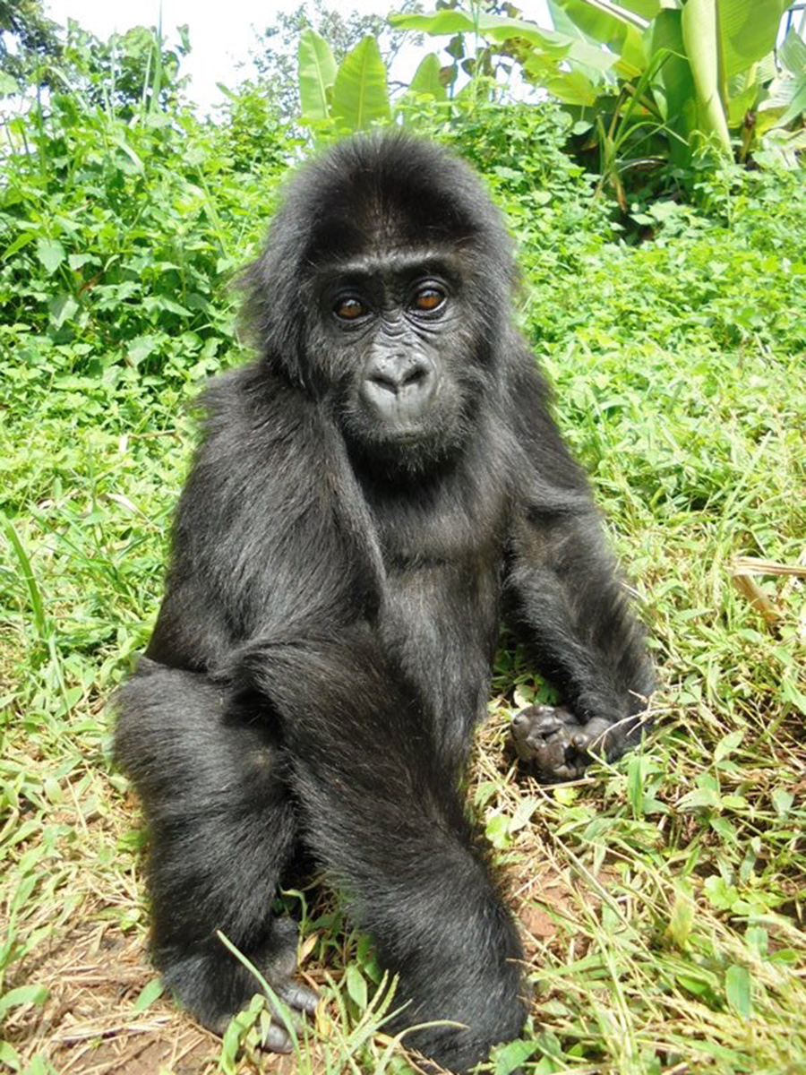 Wildlife Wednesday: Disney Lends a Hand … and a Biscuit … to Support Gorillas in the Wild