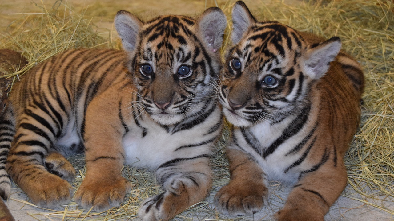 Updates on Sumatran Tiger Cubs and Conservation Efforts