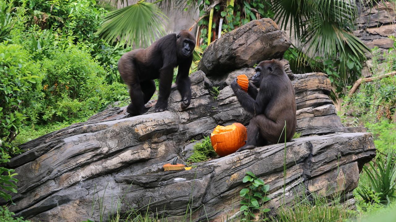 Wildlife Wednesday: Disney's Animal Kingdom Celebrates Halloween with Pumpkins