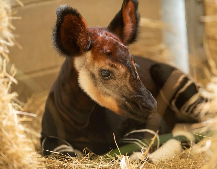 The Okapi Population Gets a Boost at Disney's Animal Kingdom Lodge
