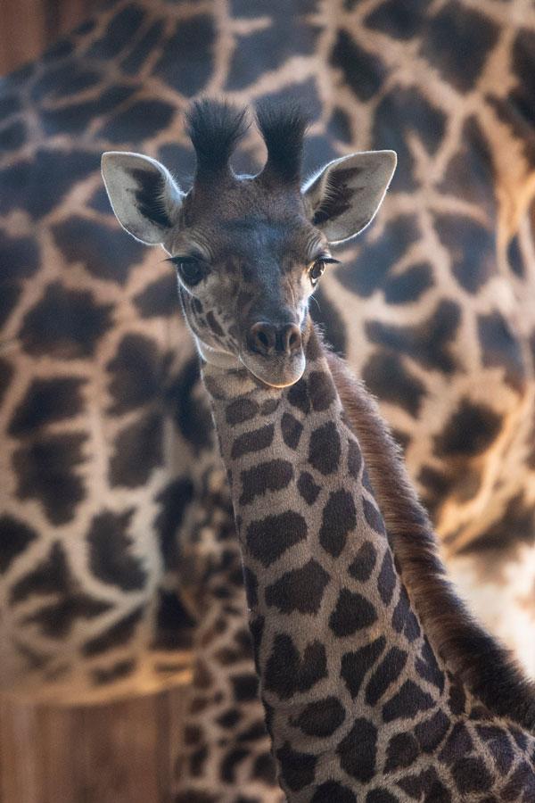 Wildlife Wednesday: Help Us Name Newest Giraffe Calf at Disney's Animal Kingdom