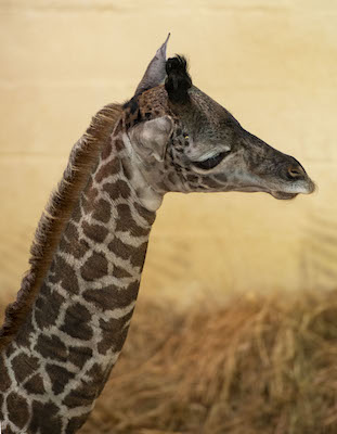 It's A… Giraffe Calf at Disney's Animal Kingdom