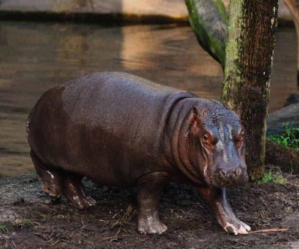 Wildlife Wednesday: Augustus the Hippo Celebrates 1st Birthday