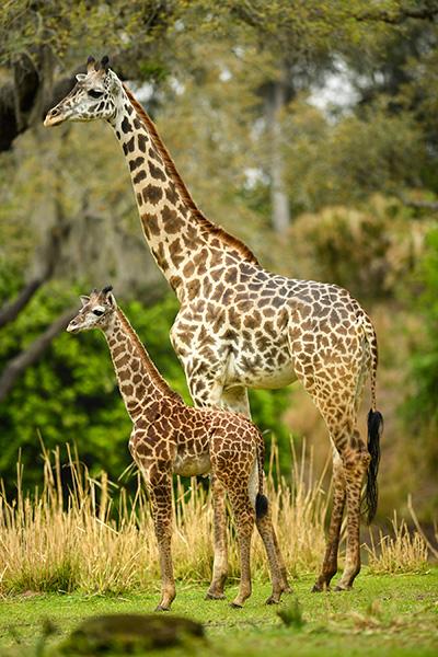 Jabari and mother, Disney's Animal Kingdom