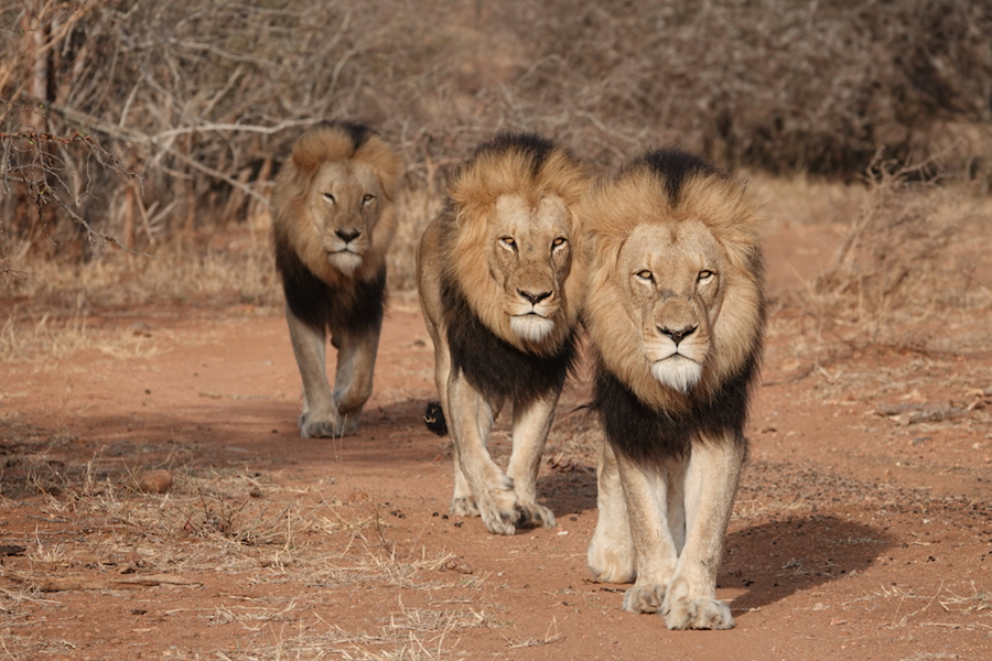 Celebrate 'The Lion King' with a Chance to Win an Adventures by Disney South African Safari Vacation