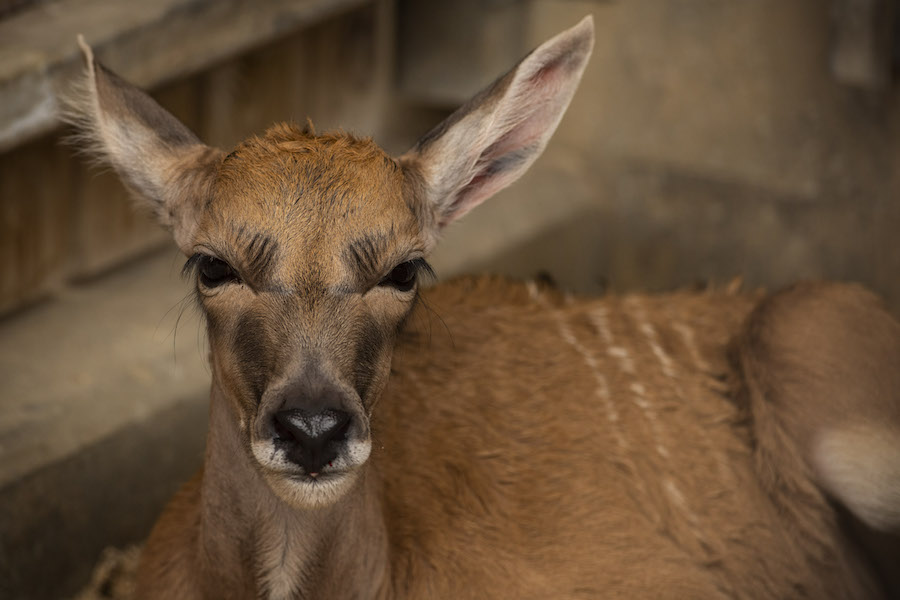 Baby Eland Arrives Post-Storm at Disney's AnimalKingdom
