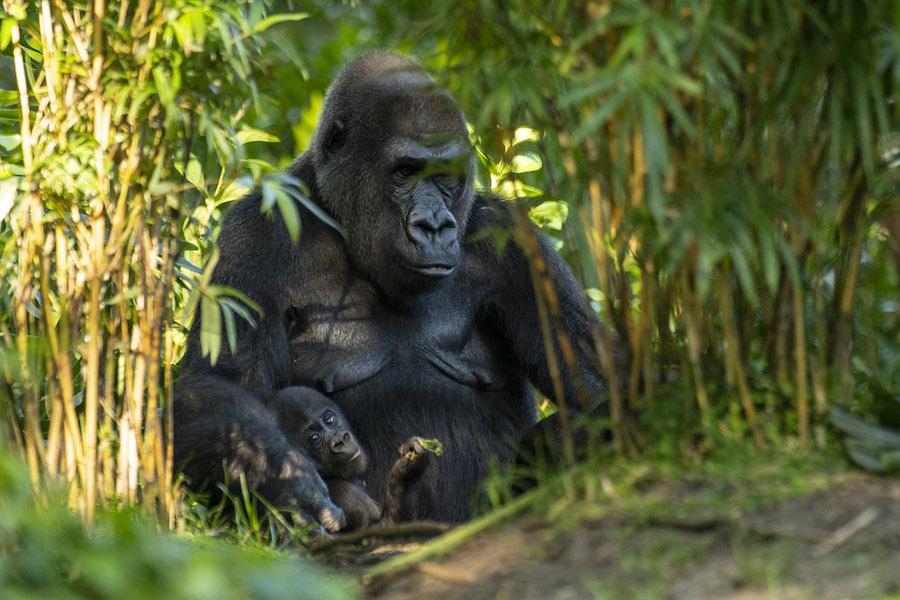 Amazing Grace – Celebrating World Gorilla Day