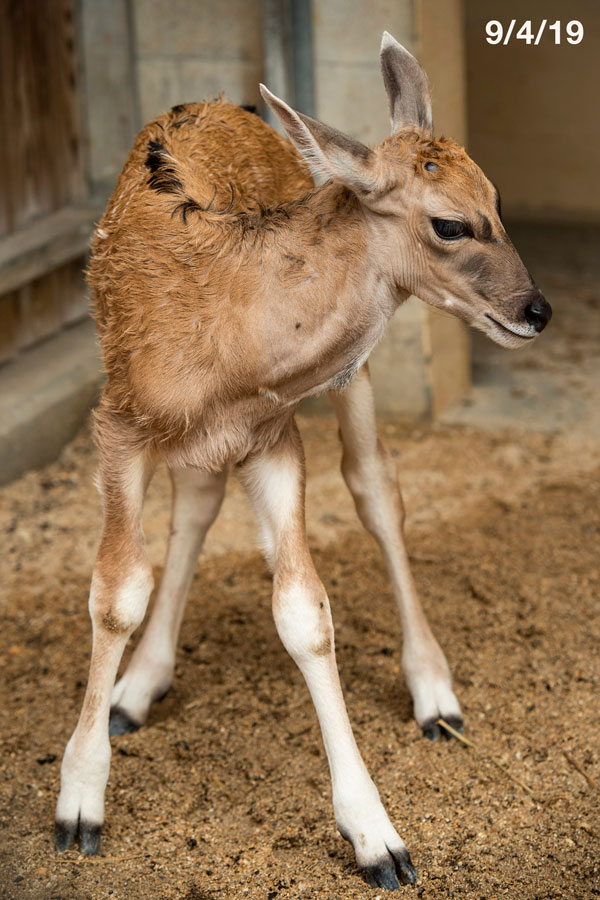 Young eland named Doppler at Disney's Animal Kingdom Park - photographed on 9/4/19