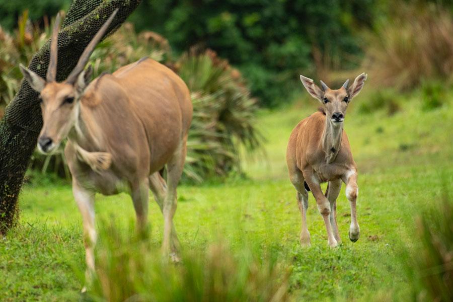 Young eland Doppler runs with his mom on the Kilimanjaro Safaris savanna at Disney's Animal Kingdom Park