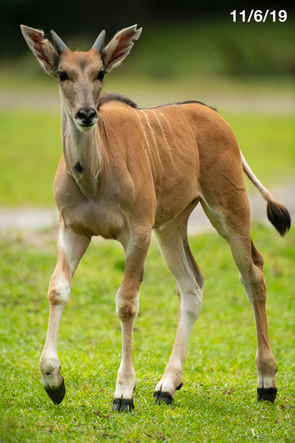 Young eland named Doppler at Disney's Animal Kingdom Park - photographed on 11/6/19