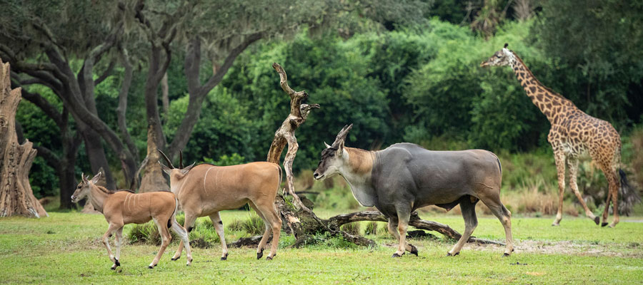 Young eland Doppler and his mom explore Kilimanjaro Safaris savanna at Disney's Animal Kingdom Park
