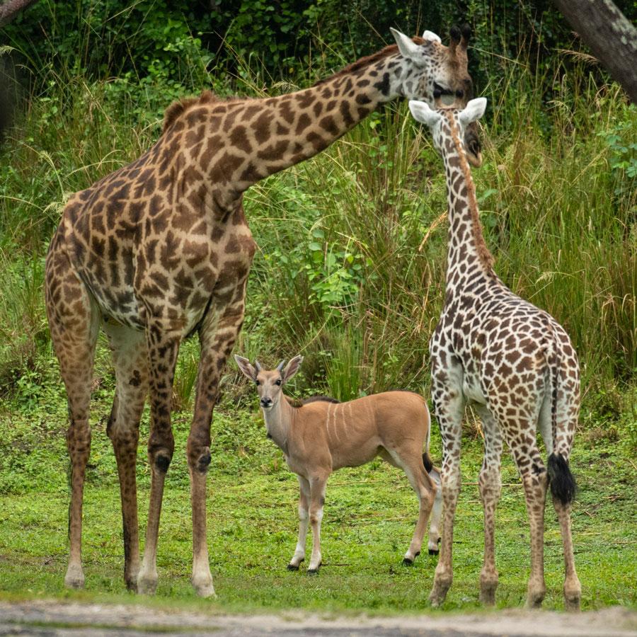 Young eland Doppler meets giraffes on the Kilimanjaro Safaris savanna at Disney's Animal Kingdom Park