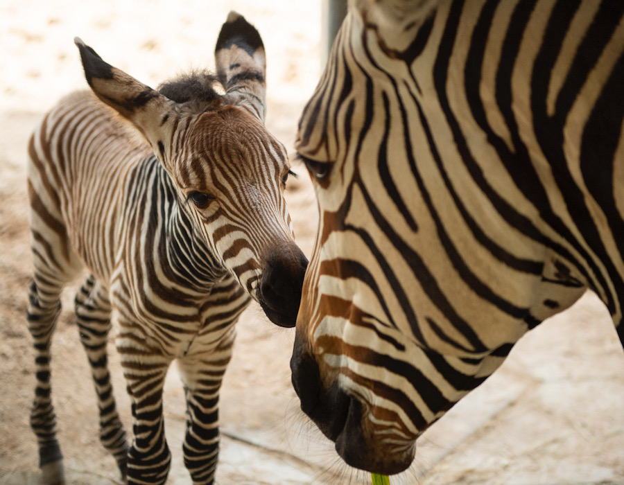 Wildlife Wednesday: Celebrating the New Year with New Babies at Disney's Animal Kingdom