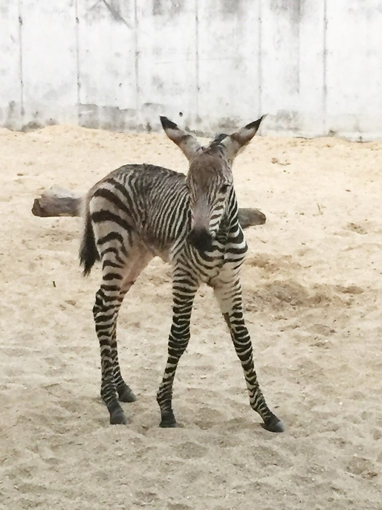 Baby News: Disney's Animal Kingdom Welcomes Zebra Foal